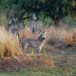 Zebra hunting africa