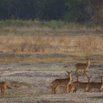 zambia big game hunting