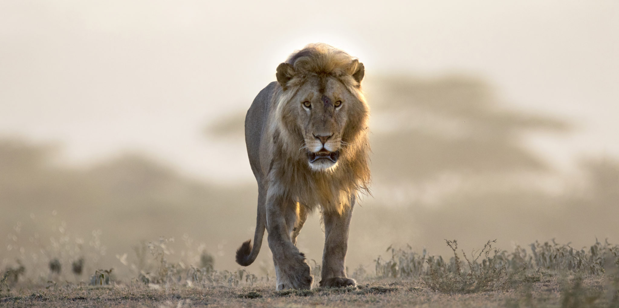 Zambia lion hunting