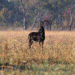 sable hunting zambia
