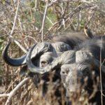 Buffalo hunting zambia