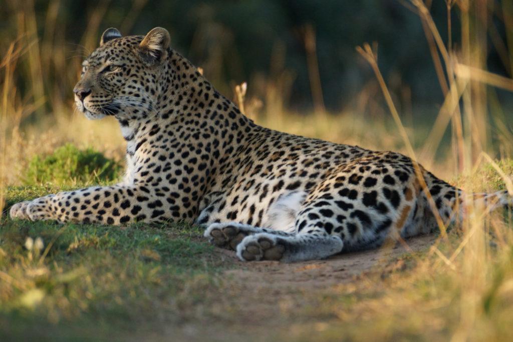 leopard in kafue national park